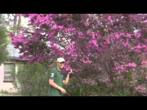 Chinese Loropetalum Tree Form PD