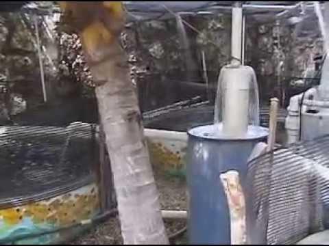 Copia De Aquaculture  Tilapia Fish Farm