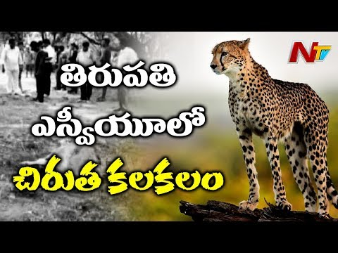 Cheetah Wondering In SV University | Cheetah Ends Cow And Calf Life | NTV
