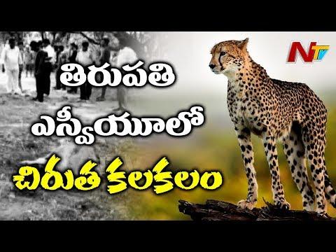 Cheetah Wondering In SV University   Cheetah Ends Cow And Calf Life   NTV