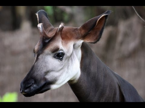Gorgeous Baby Okapi
