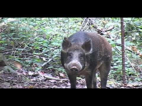 Two 400 Pound Boar Hogs Killed with Crossbow and Rifle by Kids Hunting with South Coast Safaris