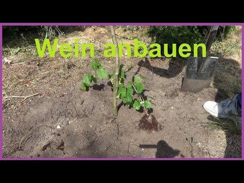 Weinreben pflanzen im Garten Wein anbauen Weintrauben einpflanzen anbauen Standort