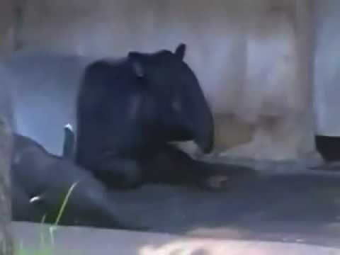 Schabrackentapir