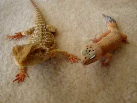Bearded Dragon And Leopard Gecko Care Youtube