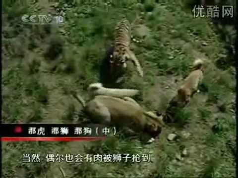 Turkish Kangal Dogs vs. Tigers & Lions