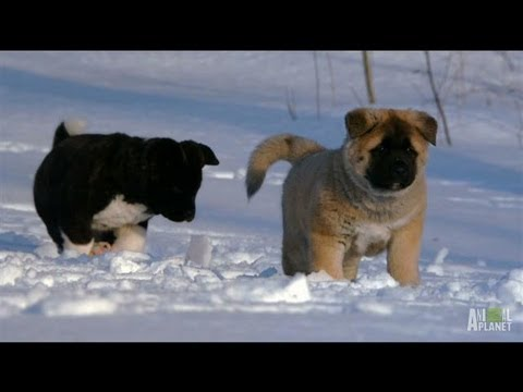 Cute Puppies Playing in Snow Akita Puppies Play in The Snow