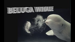 The Magical Beluga Whale, Capturing wild belugas