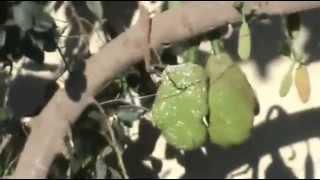 arboles frutales por las calles de AUTLAN JALISCO