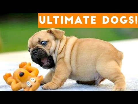 Ultimate FUNNY DOGS & CUTE PUPPIES of 2018 | Try Not to Laugh Animals & Pets Compilation April
