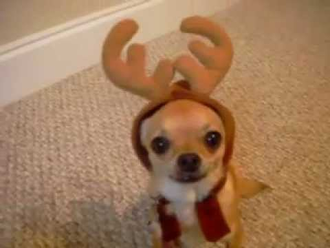 cute chihuahua video - Poncho the reindeer dog - YouTube