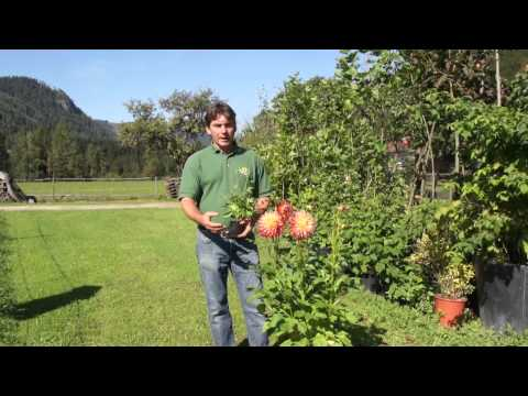 Dahlien - Kultivierung Im Topf Und Kübel