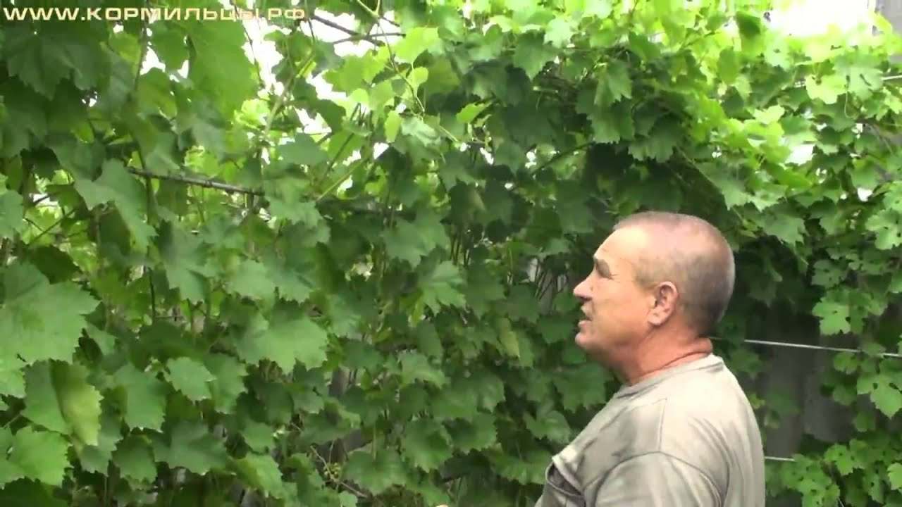 Виноград технология выращивания 7