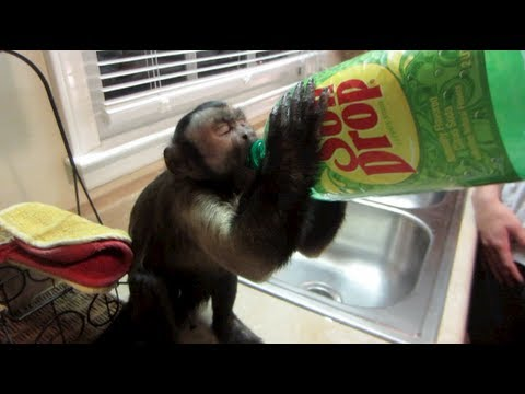 MONKEY CHUGS DRINK!