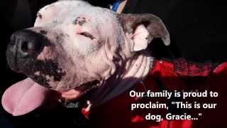 Pit Bull Rescue & Foster Fail - Angels Among Us Pet Rescue
