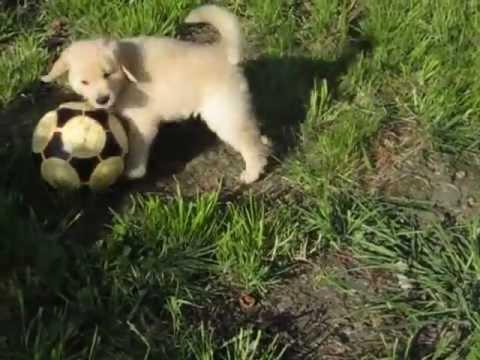Keeper Golden Retrievers Golden Retriever Puppy