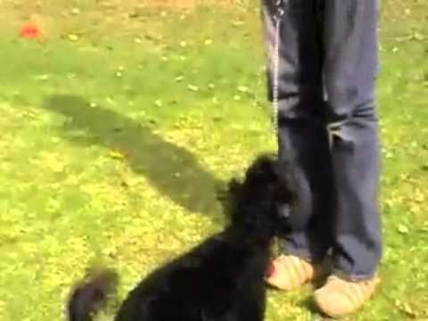 0 Dog Chewing Leash Problems   Video