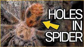 Red Fox Tarantula found in Pine Forest! Phrixotrichus vulpinus Expedition in Chile 1/2