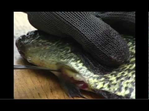 How-To Fillet Fish with Rapala Knives