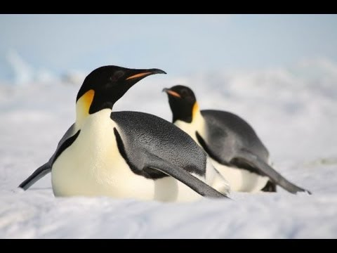 Roben Og Knud - Tine Pingvin