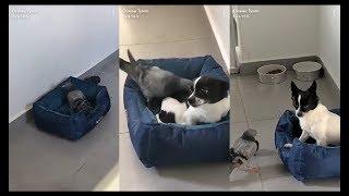 Oiseau Tyson: Snoopy se fait agresser par Secteur le pigeon! A Mourir de rire 😂😂