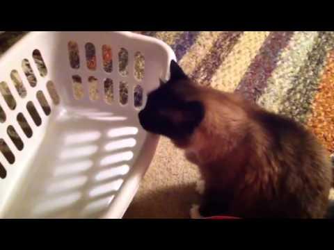 Cat likes to choke - Cat into auto-erotic asphyxiation