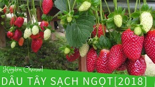 Dau Tay Strawberries farm in Dalat [2018]