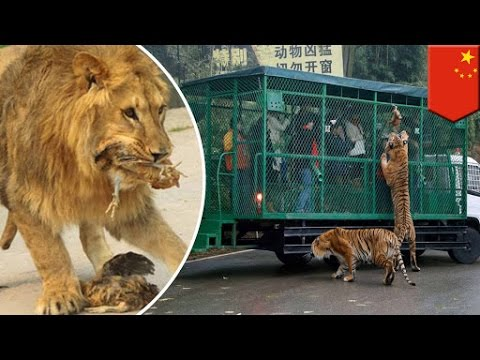 China's Lehe Ledu Wildlife Zoo allows guests to hand feed lions, tigers and bears - TomoNews
