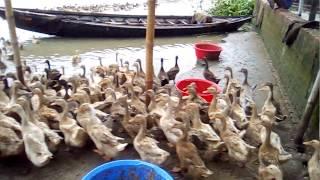 হাঁসের খামার ও হাঁস পালন পদ্ধতি । Duck Farming in Bangladesh