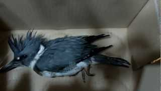Rescue of a Belted Kingfisher bird
