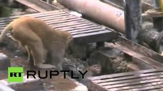 Ինչպես է կապիկը պայքարում՝ ամեն գնով ընկերոջը վերակենդանացնելու համար. հուզիչ կադրեր