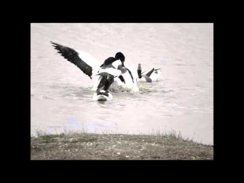 Shelduck fighting on Two Tree Island - Essex