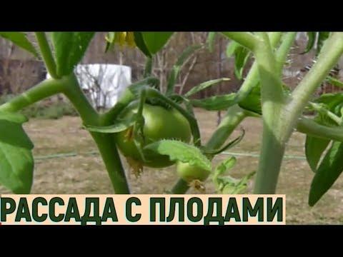 Ранниий урожай помидоров. Рассада с плодами - часть1
