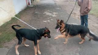 Friendly fight of Rotterman & German Shepherd