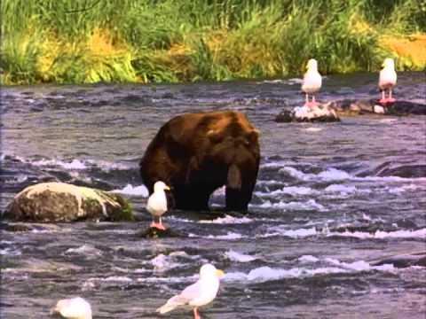 il stupido orso che non riesce a catturare sessun pesce