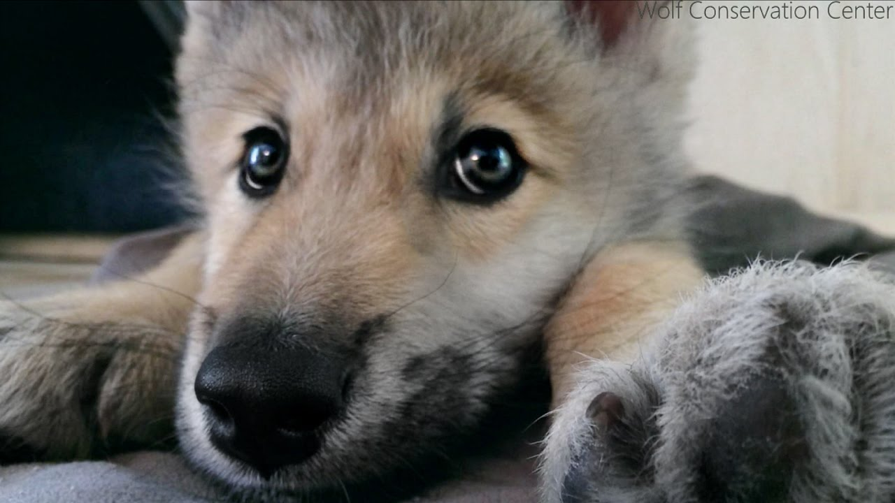 Wolf Pup Hiccups Youtube