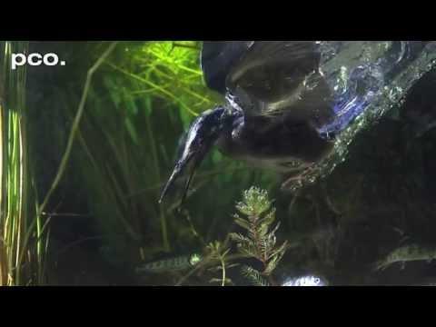 カワセミのハイクオリティな捕食映像
