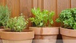 Huerto ecológico en macetas. Organic gardening in pots. ecodaisy