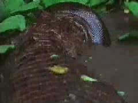 Fight Between Anaconda vs Crocodile http://tinsleypr.com/12/anaconda-vs-alligator