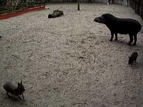 Le tapir et son Bébé 3