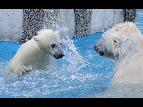 もうやめて!怒った赤ちゃん~Polar Bear's baby was angry