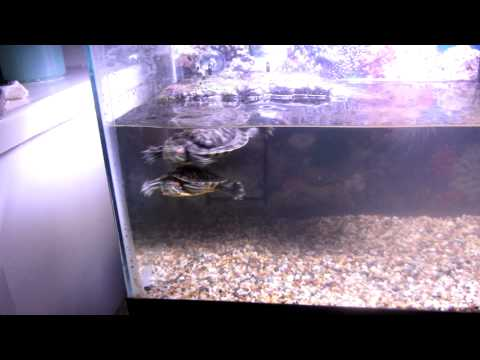 Red Ear Slider Turtles and Tank Set Up