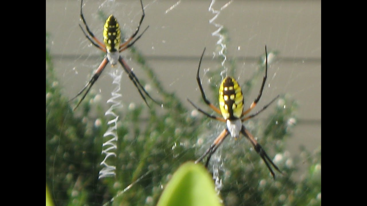 garden spiders spinning webs youtube