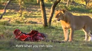 Man vs Lions  Maasai Men Stealing Lion