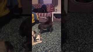 Patrick - Pug ( Many Tears Animal Rescue)