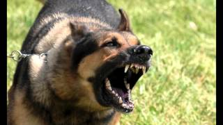 Download Lagu Download Large Dog Growling Sounds Effects MP3 Gratis STAFABAND