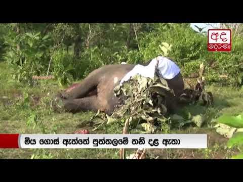 single tusked elepha|eng