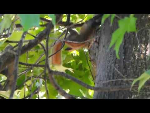 Squirrel Rape Caught On Camera video