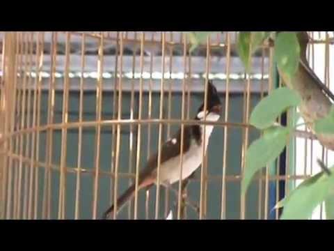 Tiếng Hót Chim Chào Mào video