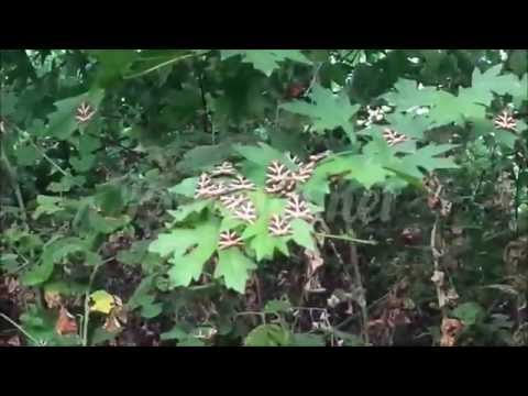 Πεταλούδες Panaxia quadripunctaria στη Ψίνθο